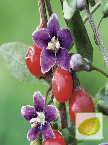 Nasiona jagody goji lycium barbarum najzdrowsze owoce for Jagody goji w tabletkach