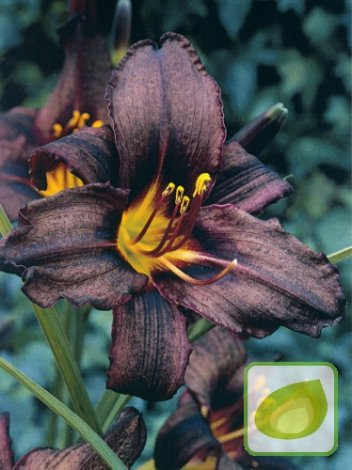 Liliowiec (Hemerocallis) Black Stockings
