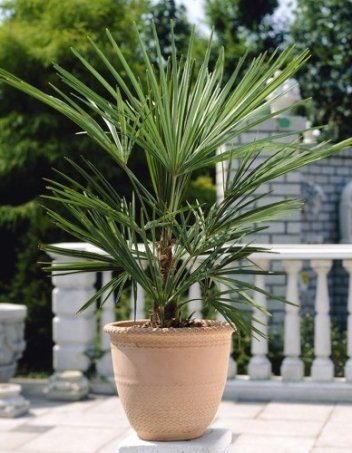palma w doniczce