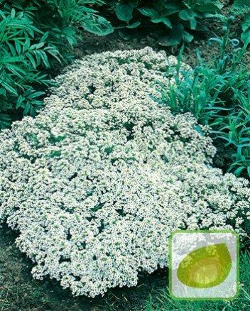 Nasiona Smagliczka Nadm New Carpet Biała Nasiona