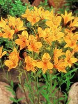 Alstremeria (Alstroemeria) 'Yellow Princess'