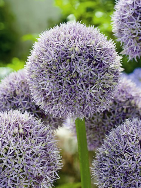Czosnek Ozdobny (Allium) Round and Purple