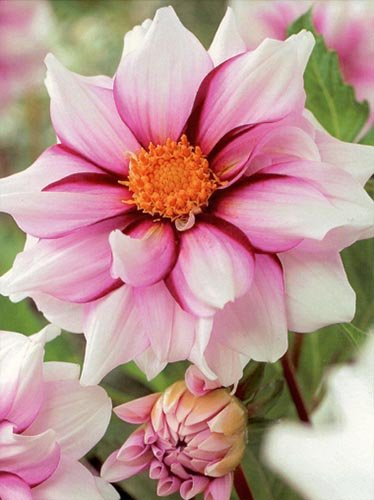 Dalia (Dahlia) 'Edge of Joy'
