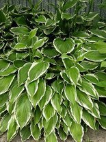 Funkia (Hosta) 'Green Gold'