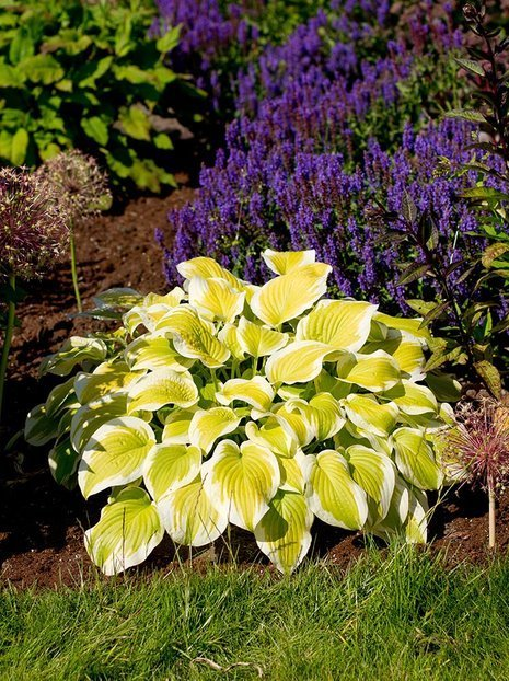 Funkia (Hosta) 'Spring Morning'