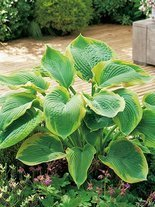 Funkia (Hosta sieboldiana) 'Frances Williams'