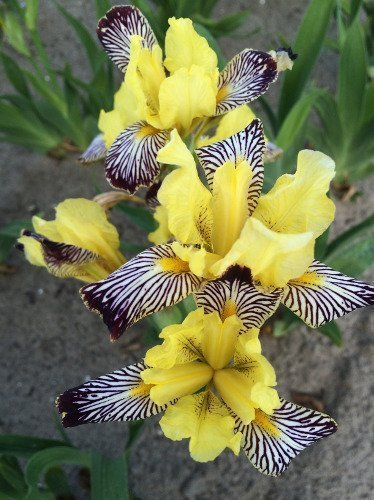 Kosaciec (Iris censation) 'Golden Zebra'