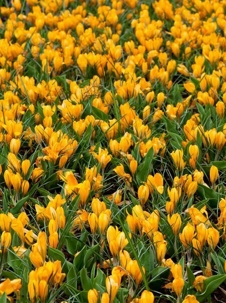 Krokus (Crocus) 'Golden Yellow'