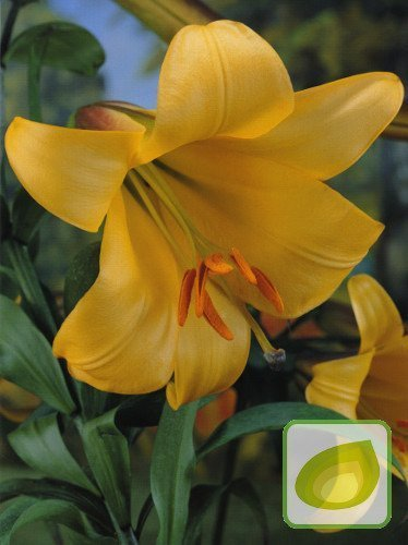 Lilia (Lilium) Golden Splendour