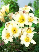 Lilia (Lilium) 'White Planet'