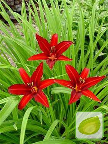 Liliowiec (Hemerocallis) Crimson Pirate