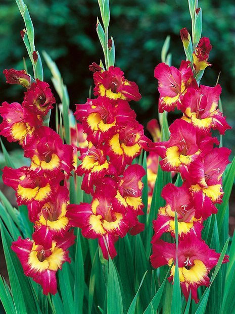 Mieczyk (Gladiolus) 'Far West'