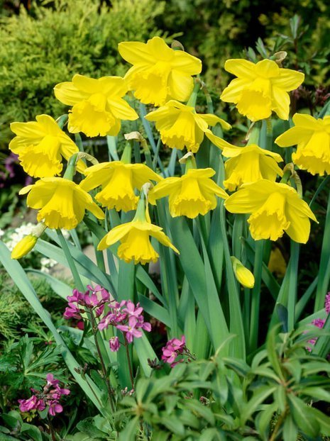 Narcyz (Narcissus) 'Gigantic Star'