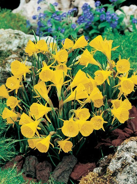 Narcyz (Narcissus) 'Golden Bells'