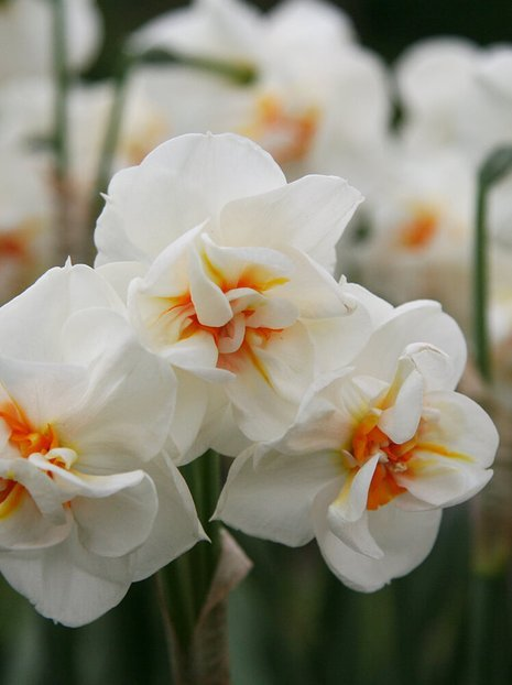 Narcyz (Narcissus) 'Sir Winston Churchill'