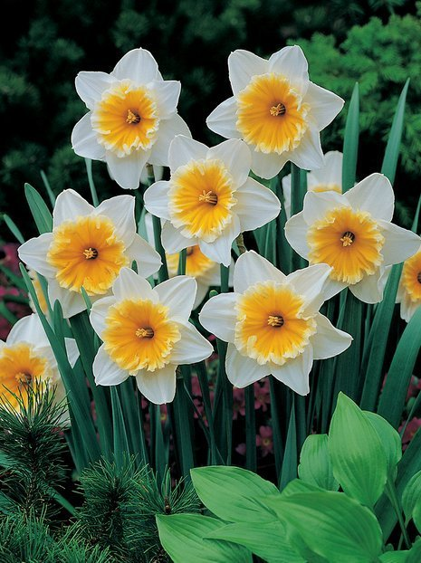 Narcyz (Narcissus) 'Slim Whitman'