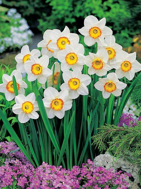 Narcyz Tani (Narcissus) 'Flower Record'
