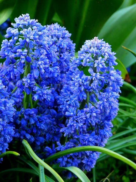 Szafirek (Muscari) 'Blue Spike'