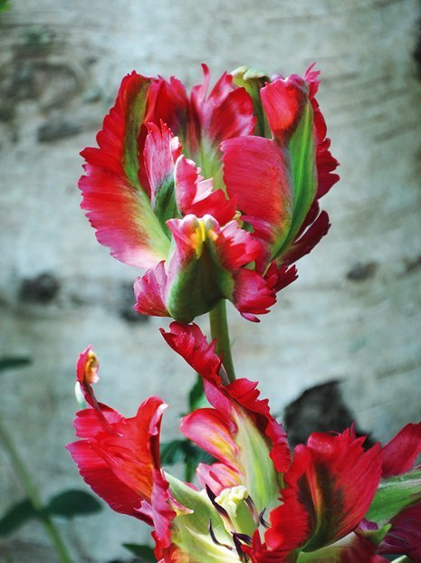 Tulipa (Tulipa) 'Red Wave'