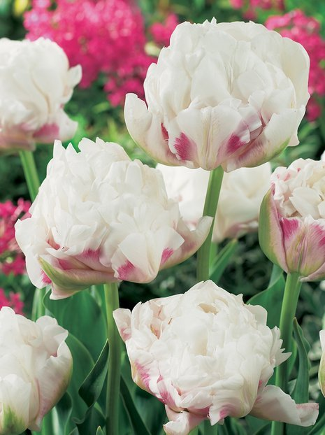 Tulipan Ice Wonder