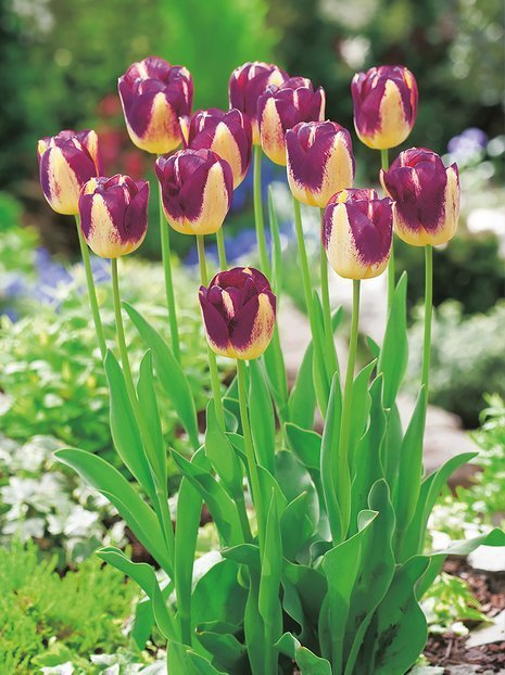 Tulipan (Tulipa) 'Boston'