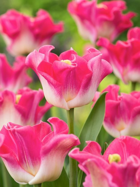 Tulipan (Tulipa) 'Crown of Destiny'