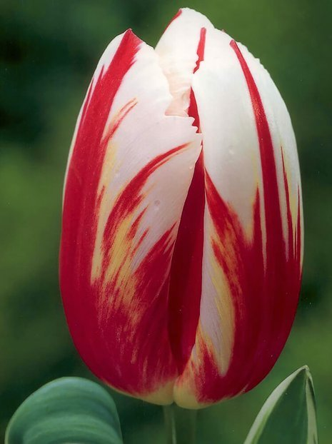Tulipan (Tulipa) 'Happy Generation'
