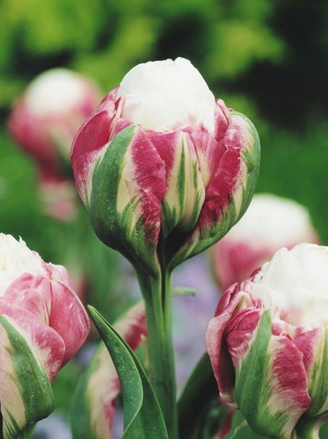 Tulipan (Tulipa) 'Ice Cream'