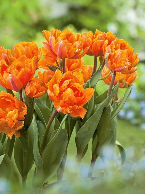 Tulipan (Tulipa) 'Orange Princess'
