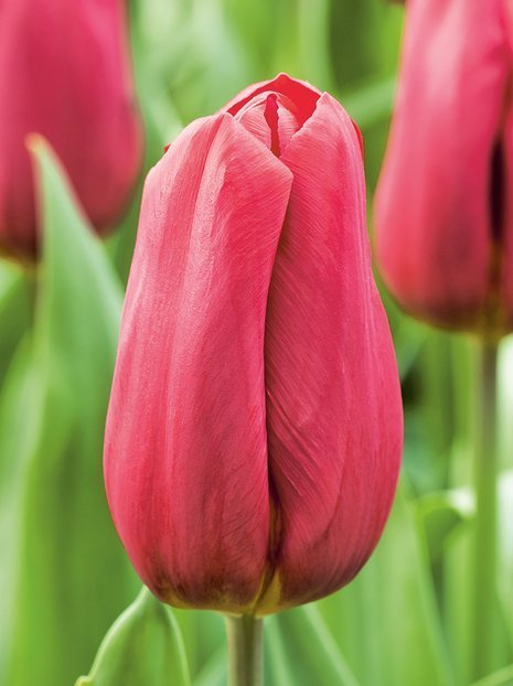 Tulipan (Tulipa) 'Strong Love'