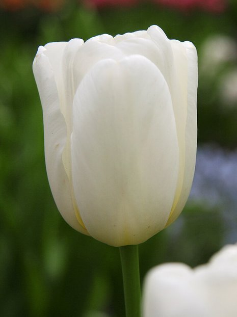 Tulipan (Tulipa) 'White Dream'