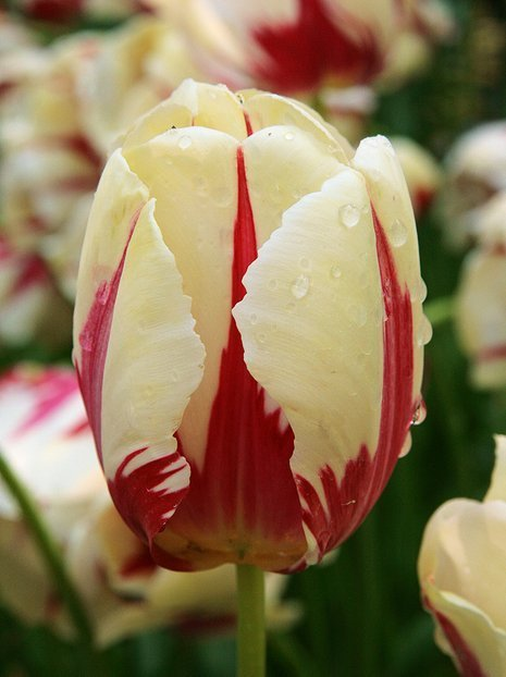 Tulipan (Tulipa) 'World Expression'