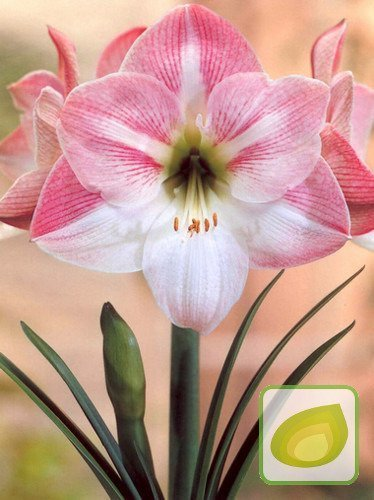 Zwartnica (Hippeastrum) Apple Blossom