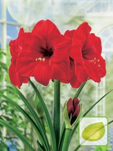 Zwartnica (Hippeastrum) 'Red Lion'
