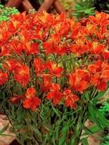 Alstreneria (Alstroemeria) 'Orange King'