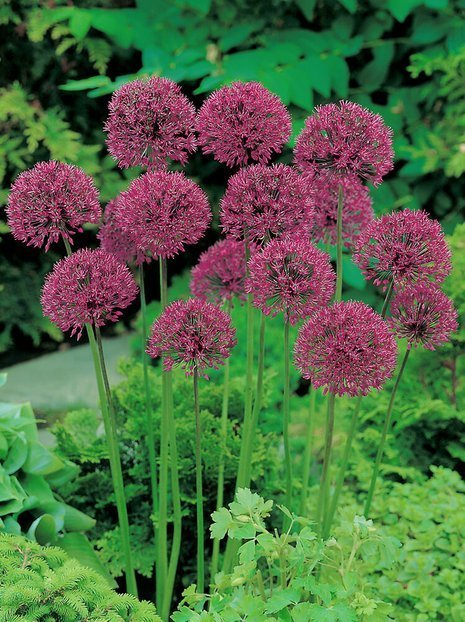 Czosnek (Allium) 'Purple Sensation'