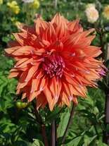 Dalia (Dahlia) 'Colour Spectacle'