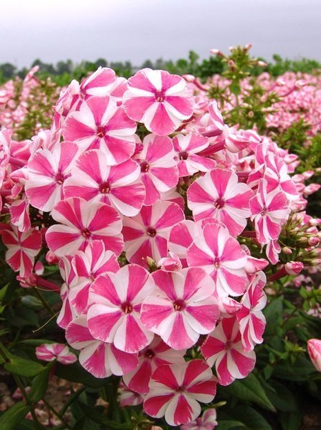 Floks (Phlox) Peppermint Twist