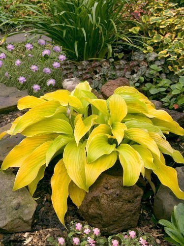 Funkia (Hosta) 'Lakeside Cha Cha'