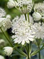 Jarzmianka wieksza (Astrantia major alba)