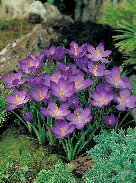 Krokus (Crocus) 'Ruby Giant'