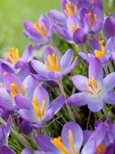 Krokus Tani (Crocus) 'Whitewell Purple'