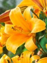 Lilia (Lilium) 'Orange Planet'