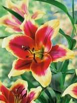 Lilia (Lilium) 'Red Dutch'