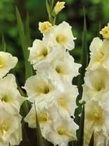 Mieczyk Tani (Gladiolus) White Friendship