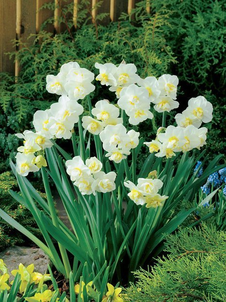 Narcyz (Narcissus) 'Cheerfulness'