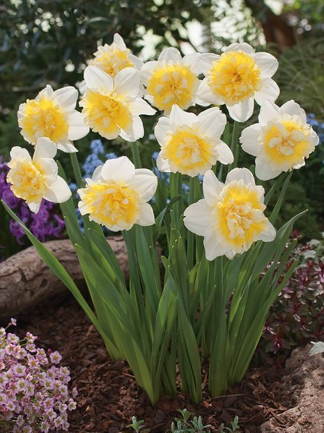 Narcyz (Narcissus) 'Ice King'