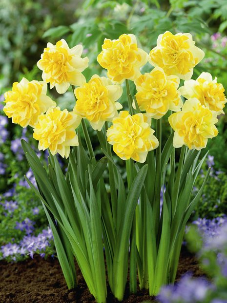 Narcyz (Narcissus) 'Sweet Pomponette'