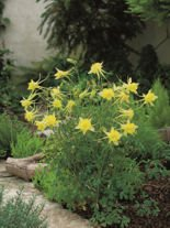 Orlik (Aquilegia) Yellow Queen