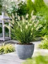 Rozplenica (Pennisetum alopecuroides) 'Magic'